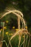 Der Weizen auf dem Gebiet Stockbilder