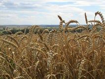 Der Weizen ist für das Ernten reif Stockbild