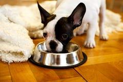 Der Welpe der französischen Bulldogge, der Lebensmittel von einer Schüssel isst Stockbild