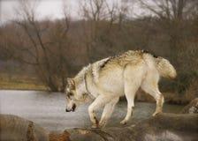 Roter Wolf Lizenzfreie Stockfotografie