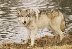 Roter Wolf Stockbild