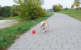 Der Welpe einer Bulldogge spielt mit einem Ball im Stadtpark Lizenzfreies Stockfoto
