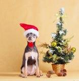 Der Welpe im Santa Claus-Hut sitzt nahe bei dem Baum des neuen Jahres Kleiner Hund, der mit Weihnachtsdekorationen auf einem beig Lizenzfreie Stockbilder