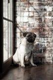 Der Welpe Pug ist das Sitzen traurig auf dem Fenster lizenzfreie stockbilder
