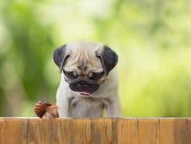 Der Welpe Pug passt kriechenden Schneckenzaun auf Blatthintergrund auf Stockfoto