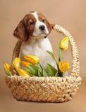 Der Welpe und die gelben Tulpen des Setzers, lizenzfreie stockfotos