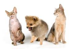 Der Welpe und die Katzen Lizenzfreie Stockfotografie