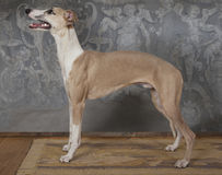 Der Whippetjagdhund zuhause Lizenzfreies Stockfoto