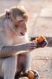 Der wilde Affe, der eine Orange isst, trägt Früchte. Stockbild