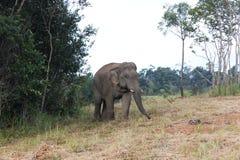 Der wilde Elefant Stockbilder