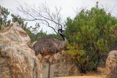 Der wilde Emuvogel, der in Berggipfel wandert, verlassen West-Australien Stockbild