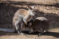Der wilde famale K?nguru, der ihr joey vom Beutel einzieht australien stockbilder