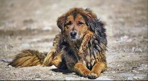 Der wilde Hund Stockbilder
