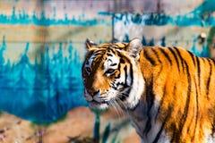 Der wilde Tiger 3 Lizenzfreie Stockfotos