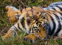 Der wilde Tiger des Jungen, der auf dem Gras liegt Indien BANDHAVGARH NATIONALPARK Madhya Pradesh Lizenzfreie Stockfotos