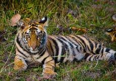 Der wilde Tiger des Jungen, der auf dem Gras liegt Indien BANDHAVGARH NATIONALPARK Madhya Pradesh Stockfotografie