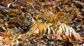 Der wilde Tiger des Jungen, der auf dem Gras liegt Indien BANDHAVGARH NATIONALPARK Madhya Pradesh Stockfoto
