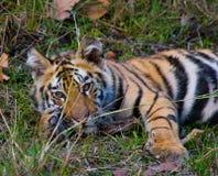 Der wilde Tiger des Jungen, der auf dem Gras liegt Indien BANDHAVGARH NATIONALPARK Madhya Pradesh Lizenzfreies Stockbild