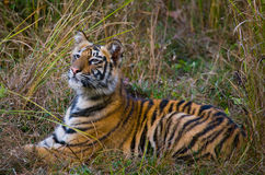 Der wilde Tiger des Jungen, der auf dem Gras liegt Indien BANDHAVGARH NATIONALPARK Madhya Pradesh Stockbilder