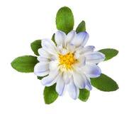 Der Wildflower, der mit gelbem Kern und Grün hellblau ist, verlässt auf Weiß Lizenzfreie Stockbilder