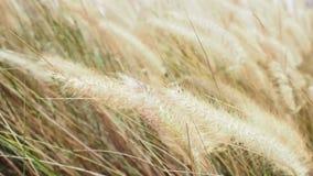 Der Wind beeinflußt leicht die Wiesengräser, die oben in der Sonne getrocknet werden stock footage