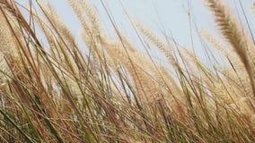 Der Wind beeinflußt leicht die Wiesengräser, die oben in der Sonne getrocknet werden stock video footage