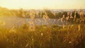 Der Wind brennt auf dem Gras bei Sonnenaufgang durch stock footage