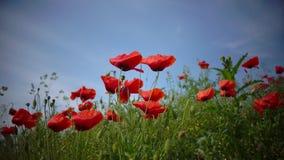 Der Wind spielt leicht mit unglaublich schönen Mohnblumenblumen auf einem Gebiet im nahen von München im Bayern Deutschland blau stock video