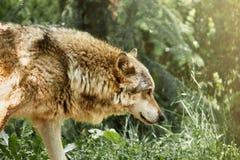 Der Wolf Lizenzfreie Stockbilder