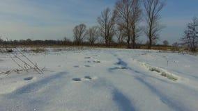 Der Wolf folgt den Bahnen eines Hasen im Winter im Schnee, die Erstpersonenansicht der steadicam Spuren von stock video