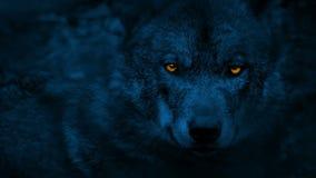 Der Wolf, der herum mit dem Glühen schaut, mustert nachts