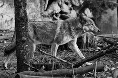 Der Wolf läuft den Wald in Schwarzweiss, Höhlenmalereien durch grauer Wolf im Wald im Vorfr?hling lizenzfreie stockfotos