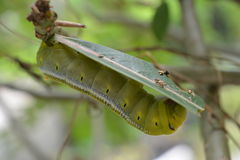 Der Wurm, zum ein Schmetterling zu sein Lizenzfreie Stockfotografie