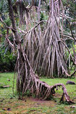 Der Wurzel-Baum im Park Stockbild