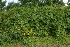 Der Zaun wird durch Virginia-Kriechpflanze Parthenocissus geflochten hecke stockfotos