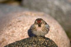 Der Zaunkönig auf einem Stein. Lizenzfreies Stockbild