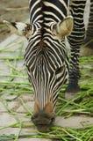 Der Zebra stockbild