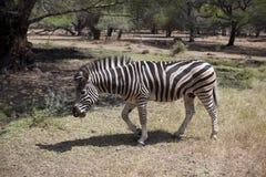 Der Zebra geht unter Dschungel Stockbild