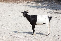 Der Ziege Schwarzes halb stockfoto