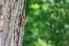 Der Zikade exuvia Fall auf dem Baum Lizenzfreies Stockfoto