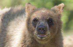 Der Zimtbaum Zimtbär Ursus americanus ist eine Farbphase und Unterart des Amerikanischen Schwarzbären Lizenzfreies Stockbild