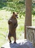 Der Zimtbaum Zimtbär Ursus americanus ist eine Farbphase und Unterart des Amerikanischen Schwarzbären Lizenzfreie Stockbilder