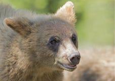 Der Zimtbaum Zimtbär Ursus americanus ist eine Farbphase und Unterart des Amerikanischen Schwarzbären Stockfotografie