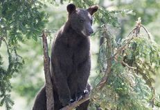 Der Zimtbaum Zimtbär Ursus americanus ist eine Farbphase und Unterart des Amerikanischen Schwarzbären Lizenzfreie Stockfotografie