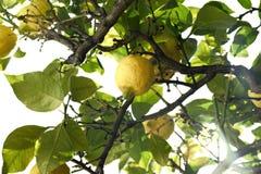 Der Zitronenbaum Lizenzfreies Stockfoto