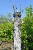 Der zugeteilte Birnenbaum in einem Garten Lizenzfreie Stockfotografie