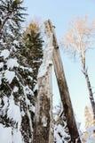 Der Zusammenbruch eines großen Baums lizenzfreie stockbilder