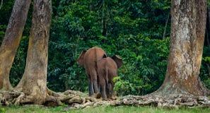 Der zwei Waldelefant steigen in den Dschungel ein Stockbilder