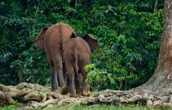 Der zwei Waldelefant steigen in den Dschungel ein Lizenzfreies Stockfoto