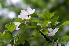 Der Zweig des Apfelbaums Stockfotografie